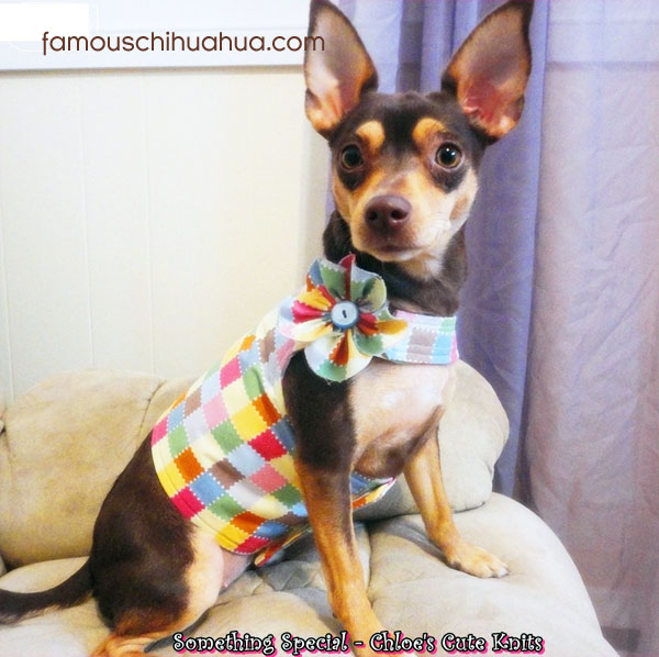chihuahua in cute outfit