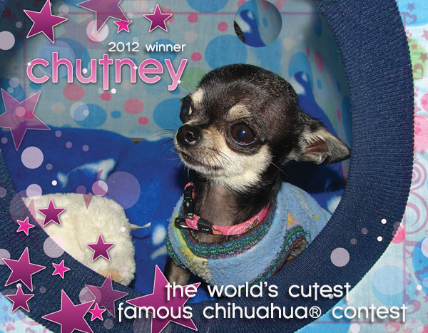 the world's cutest famous chihuahua contest