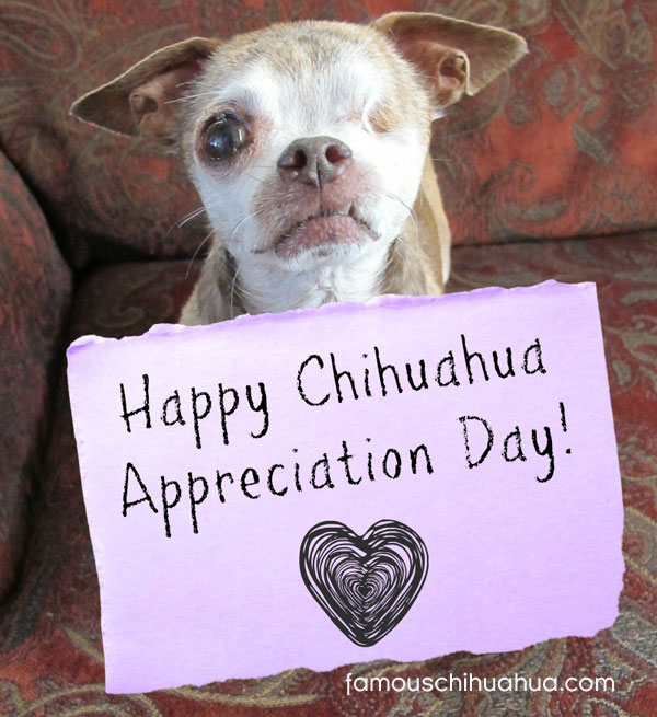 harley the hero dog with his happy chihuahua appreciation day sign