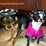 cute chihuahuas in sombreros