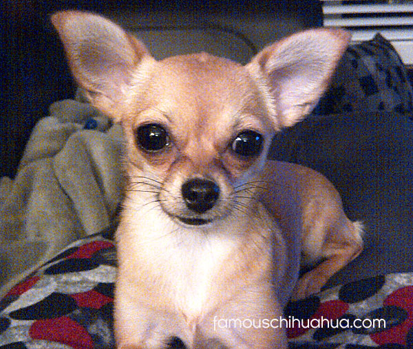 short haired tan chihuahua puppy
