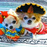 cute cinco de mayo chihauhuas
