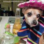 chihuahua drinking alcohol