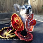 chihuahua covered in sombreros