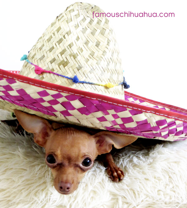chihuahua in large sombrero