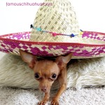 cute chihuahua in big sombrero