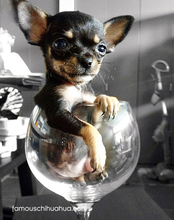 tiny chihuahua in wine glass