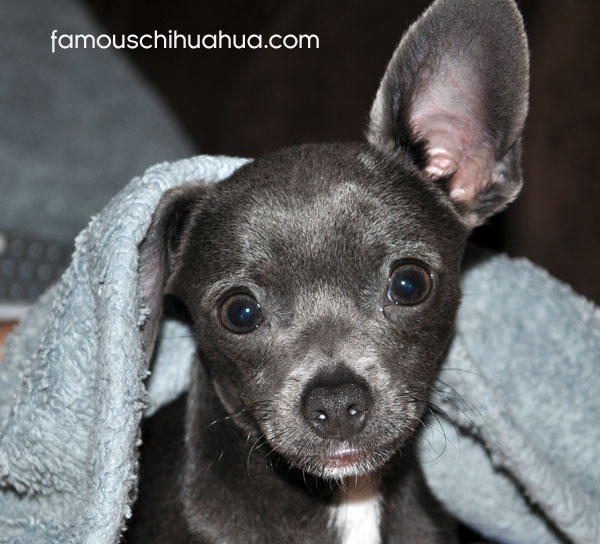 blue nose chihuahua in sheets