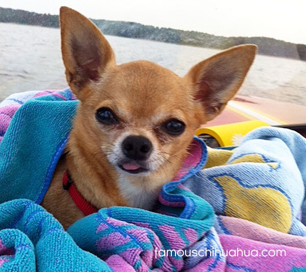 chihuahua in beach towel