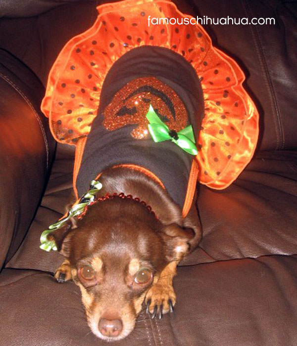 chihuahua dressed for halloween