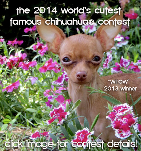 the 2014 world's cutest famous chihuahua contest!