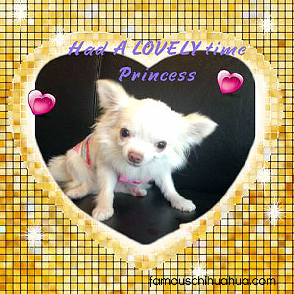 long haired white chihuahua