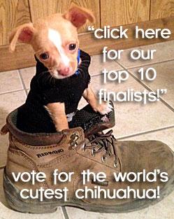 vote for world's cutest famous chihuahua