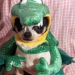 chihuahua alligator
