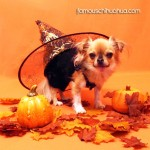 chihuahua witch