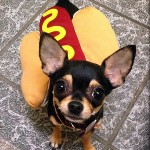 chihuahua hot dog