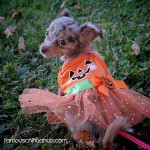 chihuahua pumpkin dress