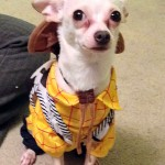 chihuahua woody from toy story