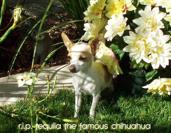 tequila the famous chihuahua