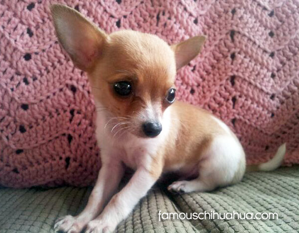 Please Help Save Baby Bandit The Chihuahua Puppy In Need Of Surgery