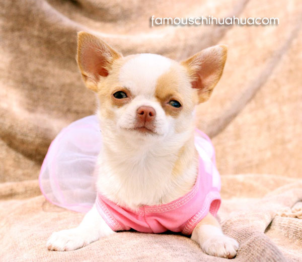 golden fur coat chihuahua