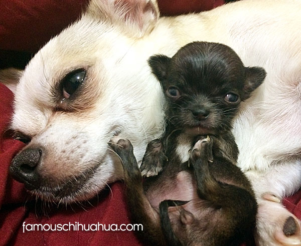 teacup chihuahua with mother
