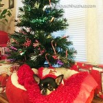 chihuahua under christmas tree