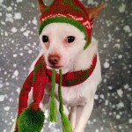 chihuahua in christmas hat and scarf