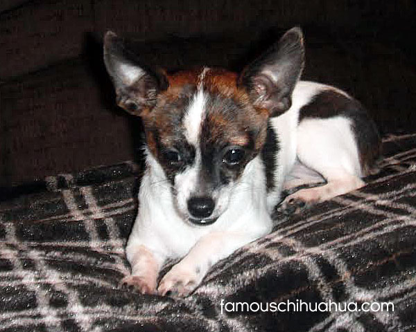 brown and white chihuahua puppy