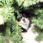 chihuahua hiding in christmas tree