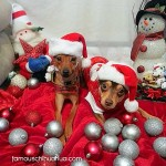 chihuahuas in santa hats
