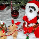 chihuahua santa on sleigh