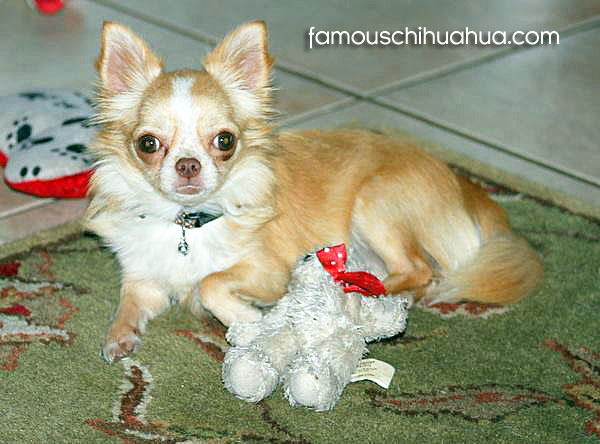 beautiful long-haired chihuahua