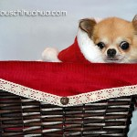 chihuahua in christmas basket