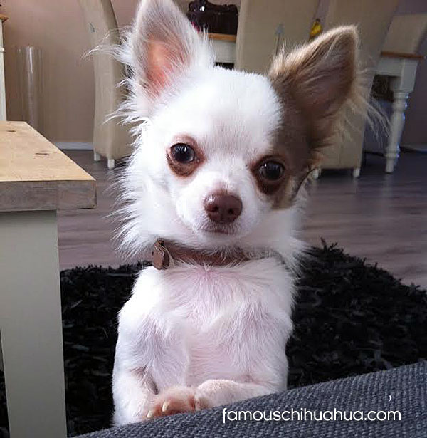 ... Photos - Long Haired Chihuahua Pictures Long Haired Chihuahua Puppy