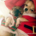 chihuahuas in christmas clothes