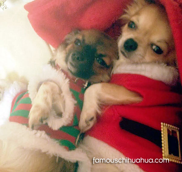 izzy and poppy in their adorable christmas outfits! | famous chihuahua