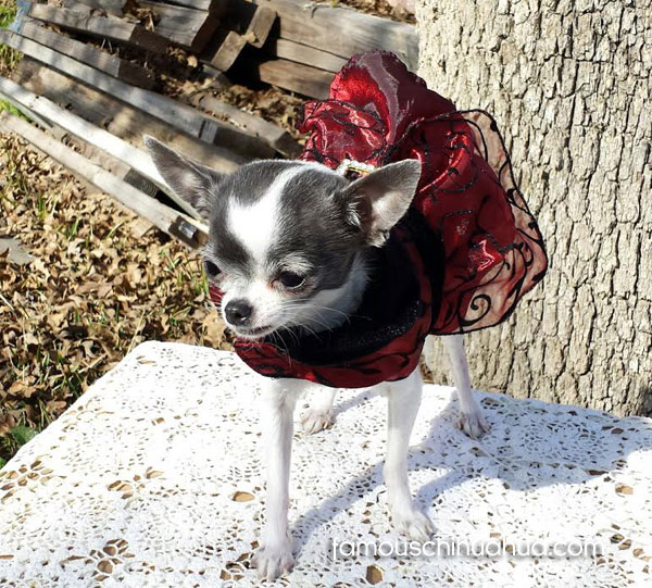 teacup chihuahua in dress