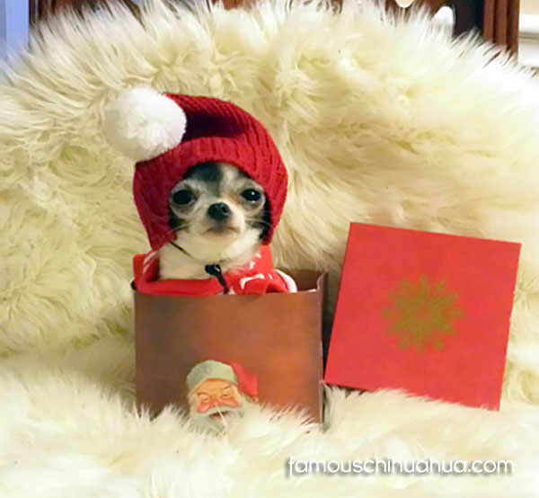 teacup chihuahua in gift box