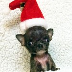 teacup chihuahua in santa hat