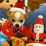 chihuahua in christmas picture