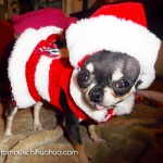 teacup chihuahua as santa