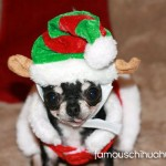 teacup chihuahua elf