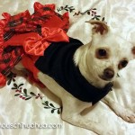 chihuahua in christmas dress