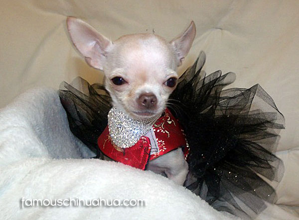 teacup chihuahua in tutu