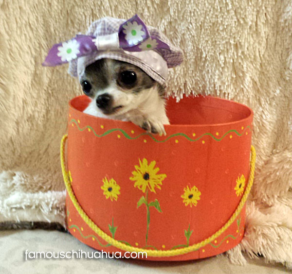 teacup chihuahua in bucket