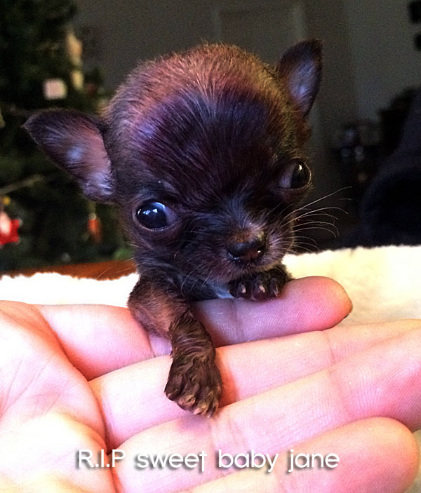 tiny teacup chihuahua