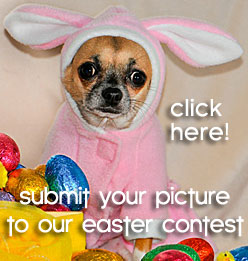chihuahau easter picture contest