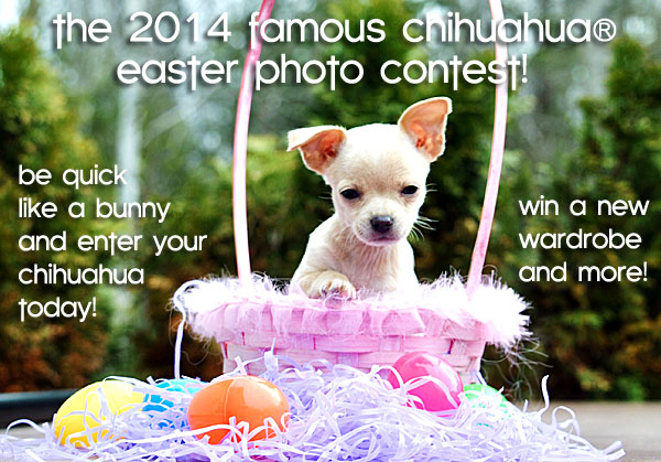 chihuahua photo contest