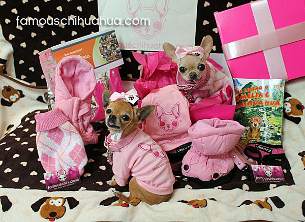 cute teacup chihuahuas